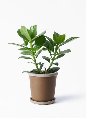 観葉植物 クルシア ロゼア プリンセス 3.5号 キャメルポット ブラウン 付き