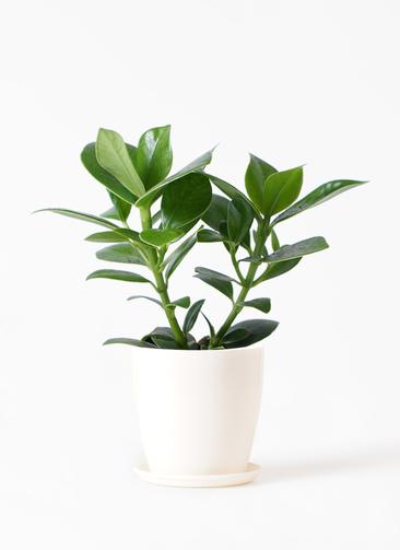 観葉植物 クルシア ロゼア プリンセス 3.5号 ラスターポット 付き