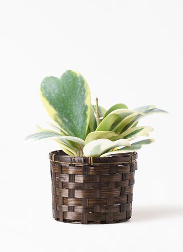 観葉植物 ホヤ (サクララン) 3.5号 竹バスケット付き