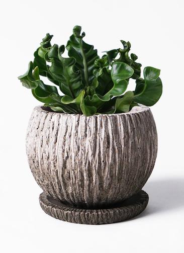 観葉植物 アスプレニウム 4号 ストーン ウェア セラミック 付き