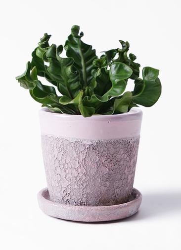 観葉植物 アスプレニウム 4号 ハレー ピンク 付き