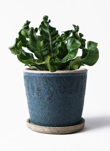 観葉植物 アスプレニウム 4号 フェイバーポット ブルー 付き