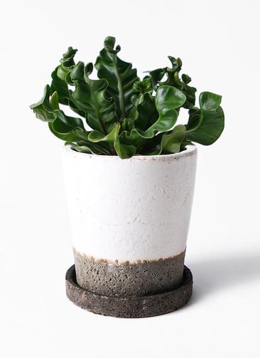 観葉植物 アスプレニウム 4号 ヴィフポット ホワイト 付き