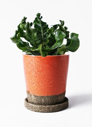 観葉植物 アスプレニウム 4号 ヴィフポット オレンジ 付き
