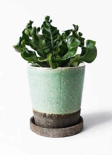 観葉植物 アスプレニウム 4号 ヴィフポット ミントグリーン 付き
