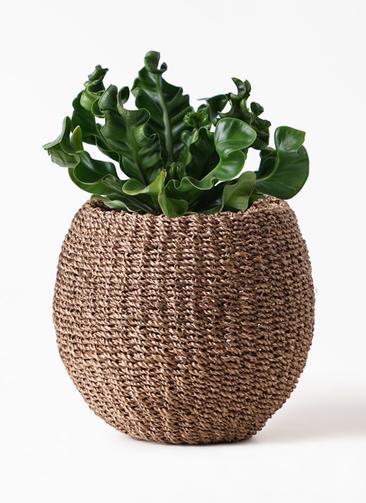 観葉植物 アスプレニウム 4号 アバカバスケット スモーク 付き