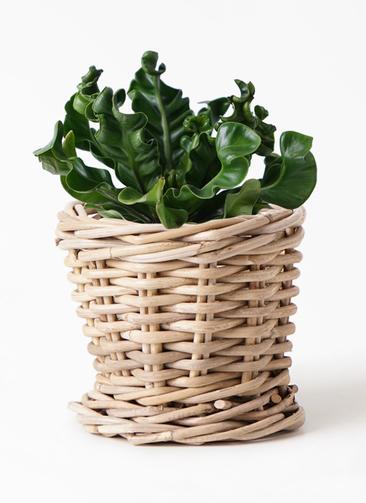観葉植物 アスプレニウム 4号 グレイラタン 付き