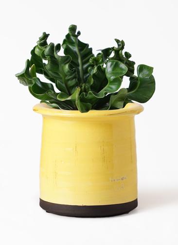 観葉植物 アスプレニウム 4号 アンティークテラコッタ イエロー 付き