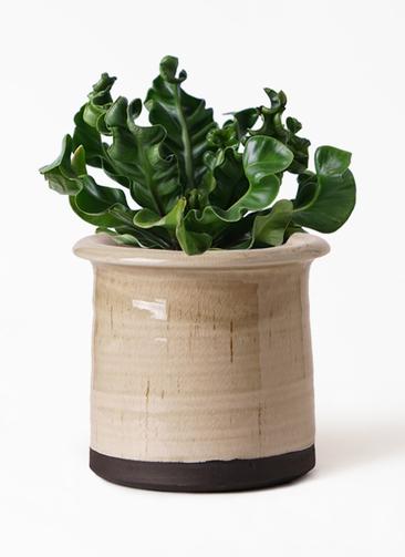 観葉植物 アスプレニウム 4号 アンティークテラコッタ グレイ 付き