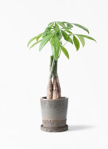 観葉植物 パキラ 4号 ねじり ヴィフポット ダークブルー 付き