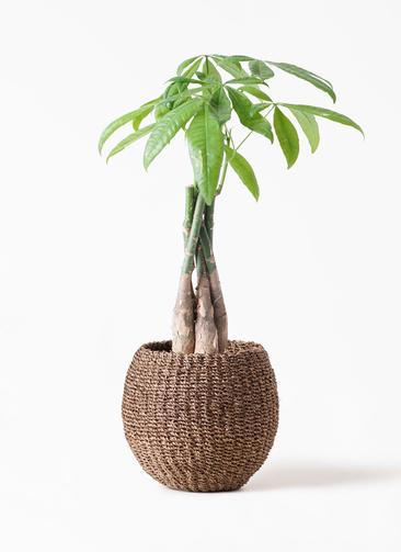 観葉植物 パキラ 4号 ねじり アバカバスケット スモーク 付き