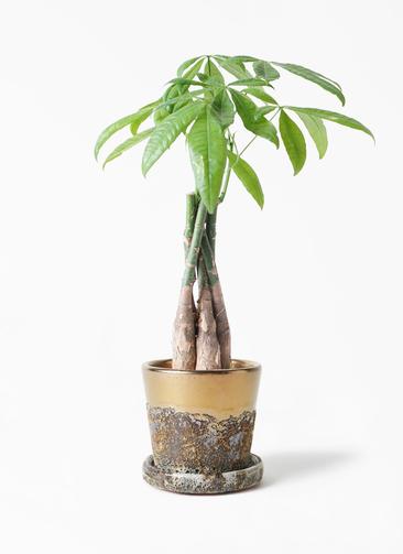 観葉植物 パキラ 4号 ねじり ハレー ブロンズ 付き
