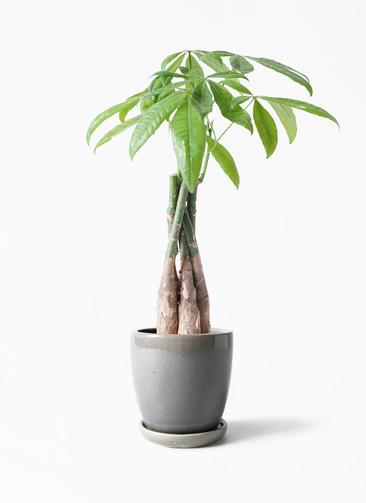 観葉植物 パキラ 4号 ねじり アステア トール ライトグレー 付き