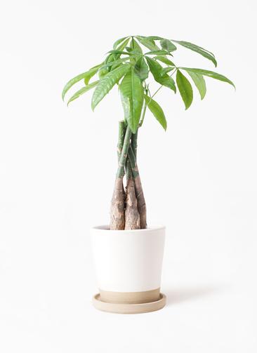 観葉植物 パキラ 4号 ねじり マット グレーズ テラコッタ ホワイト 付き