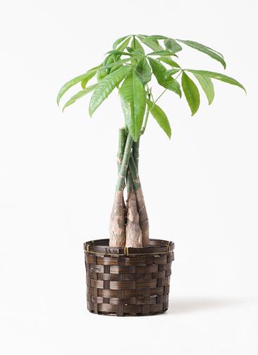 観葉植物 パキラ 4号 ねじり 竹バスケット付き