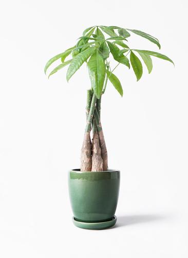 観葉植物 パキラ 4号 ねじり アステア トール グリーン 付き