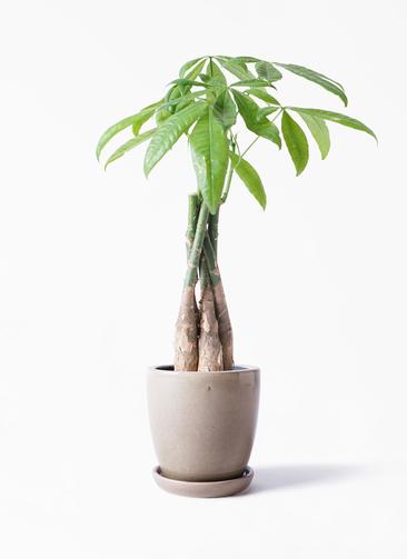 観葉植物 パキラ 4号 ねじり アステア トール ベージュ 付き