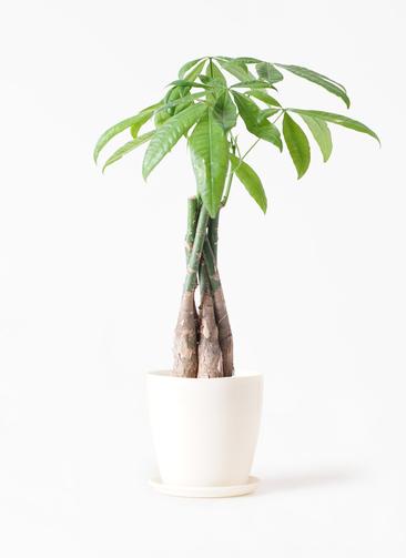 観葉植物 パキラ 4号 ねじり ラスターポット 付き