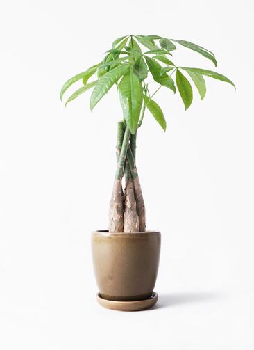 観葉植物 パキラ 4号 ねじり アステア トール ブラウン 付き