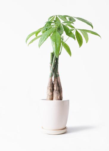観葉植物 パキラ 4号 ねじり アステア トール ホワイト 付き