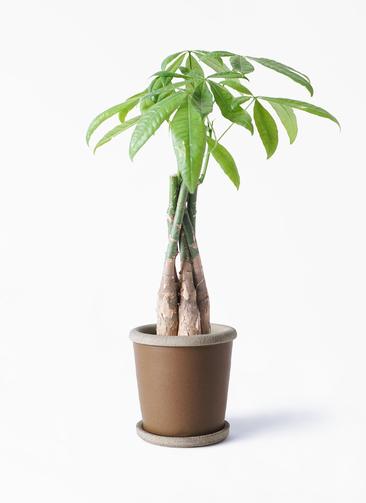 観葉植物 パキラ 4号 ねじり キャメルポット ブラウン 付き