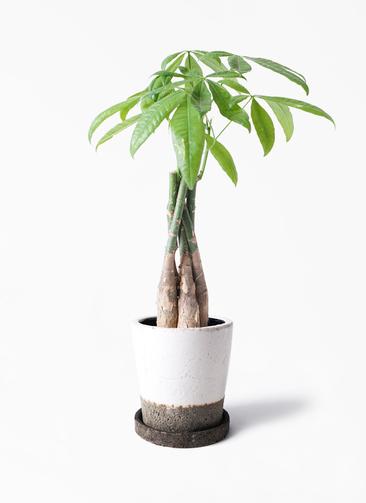 観葉植物 パキラ 4号 ねじり ヴィフポット ホワイト 付き