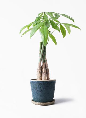 観葉植物 パキラ 4号 ねじり フェイバーポット ブルー 付き