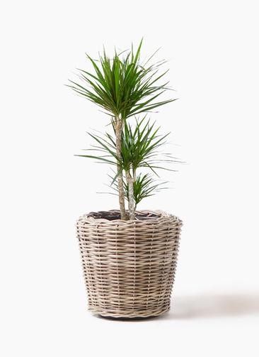 観葉植物 ドラセナ コンシンネ 7号 寄せ モンデリック ラタン 付き