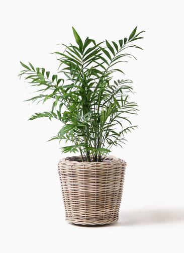 観葉植物 テーブルヤシ 7号 モンデリック ラタン 付き