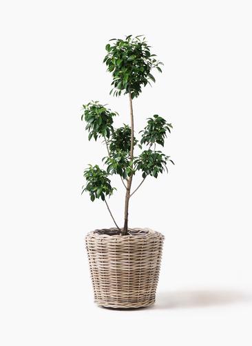 観葉植物 フィカス ナナ 7号 ボサチラシ モンデリック ラタン 付き