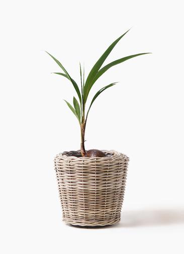 観葉植物 ココヤシ 7号 モンデリック ラタン 付き