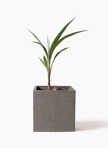 観葉植物 ココヤシ 7号 コンカー キューブ  灰 付き