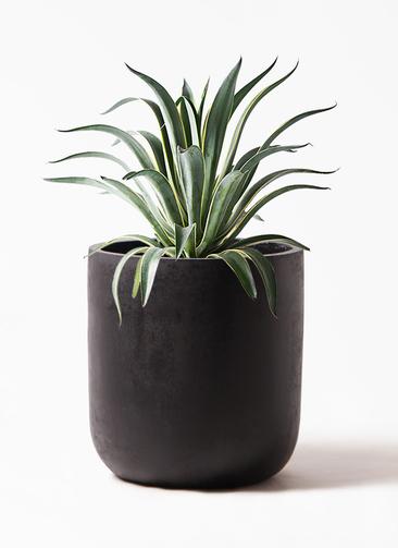観葉植物 アガベ 7号 ベネズエラ エルバ 黒 付き