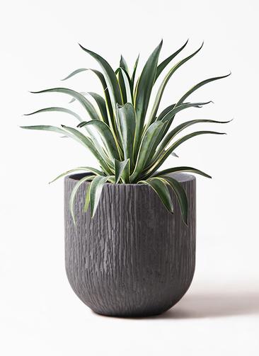 観葉植物 アガベ 7号 ベネズエラ カルディナダークグレイ 付き