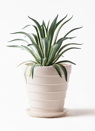 観葉植物 アガベ 7号 ベネズエラ サバトリア 白 付き
