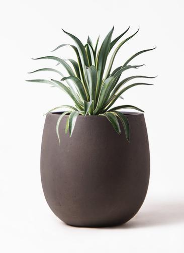 観葉植物 アガベ 7号 ベネズエラ テラニアス バルーン アンティークブラウン 付き