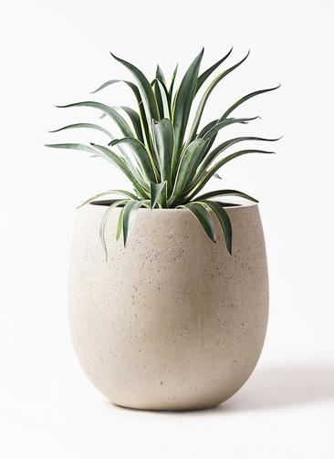 観葉植物 アガベ 7号 ベネズエラ テラニアス バルーン アンティークホワイト 付き