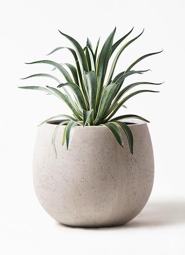 観葉植物 アガベ 7号 ベネズエラ テラニアス ローバルーン アンティークホワイト 付き