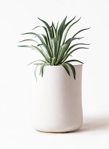 観葉植物 アガベ 7号 ベネズエラ バスク ミドル ホワイト 付き