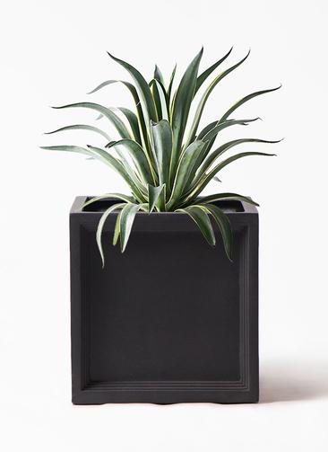 観葉植物 アガベ 7号 ベネズエラ ブリティッシュキューブ 付き