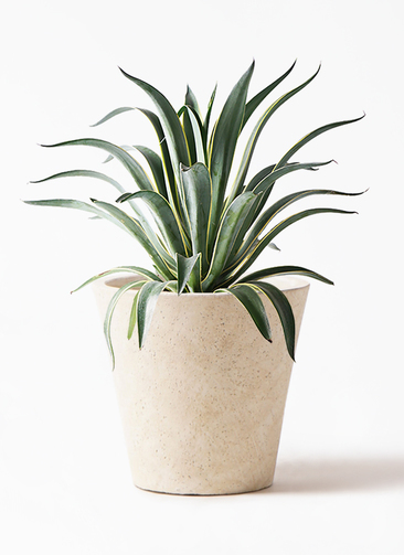 観葉植物 アガベ 7号 ベネズエラ フォリオソリッド クリーム 付き