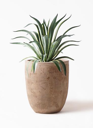 観葉植物 アガベ 7号 ベネズエラ ルーガ アンティコ アルトエッグ 付き