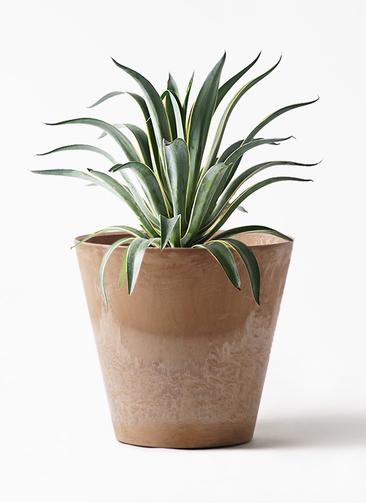 観葉植物 アガベ 7号 ベネズエラ アートストーン ラウンド ベージュ 付き