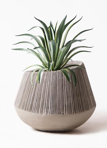 観葉植物 アガベ 7号 ベネズエラ エディラウンド グレイ 付き
