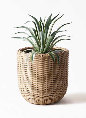 観葉植物 アガベ 7号 ベネズエラ ウィッカーポットエッグ ベージュ 付き