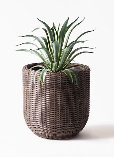 観葉植物 アガベ 7号 ベネズエラ ウィッカーポットエッグ 茶 付き