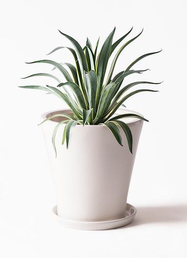 観葉植物 アガベ 7号 ベネズエラ サブリナ 白 付き