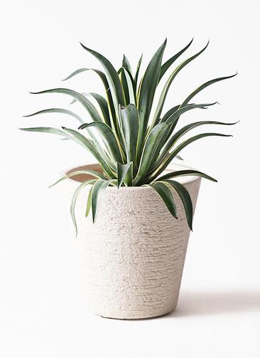 観葉植物 アガベ 7号 ベネズエラ ビアスソリッド 白 付き