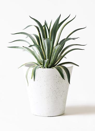 観葉植物 アガベ 7号 ベネズエラ フォリオソリッド 白 付き