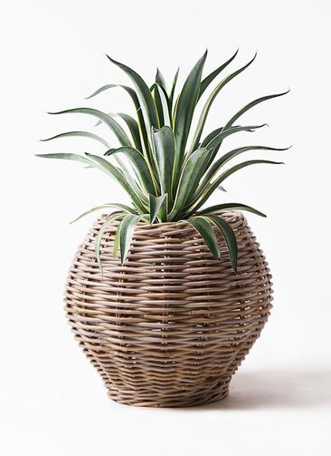 観葉植物 アガベ 7号 ベネズエラ グレイラタン 付き